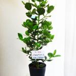 贈ると喜ばれること間違いなし!オフィスにお勧めの観葉植物10選