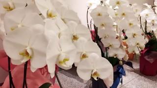 オフィス移転のお祝いの女王「胡蝶蘭」 送り方のマナーや選び方
