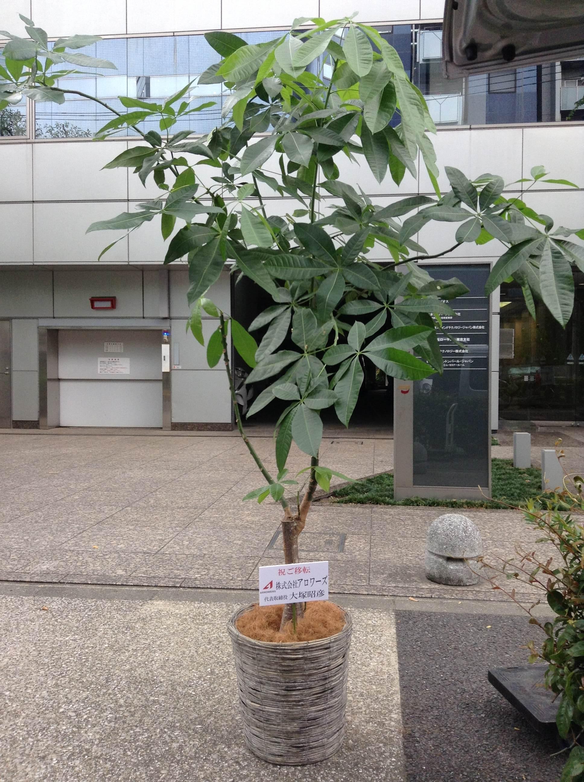 パキラ(幹太タイプ)